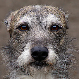 Jake by Chrissie Barrow - Animals - Dogs Portraits ( mouth, pet, male, fur, grey, rough, dog, nose, lurcher, portrait, eyes )