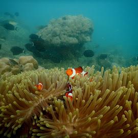 Three Nemo by Bogar Kelmaskosu - Animals Fish ( underwater, fish, nikon, nemo )