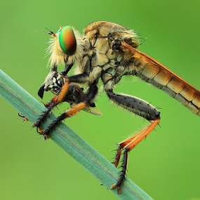 Lunch by Said  Ikhsan - Animals Insects & Spiders ( macro, nature )