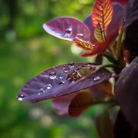 Raindrops by Marina Denisenko - Nature Up Close Natural Waterdrops ( macro, drops, botanical, water )