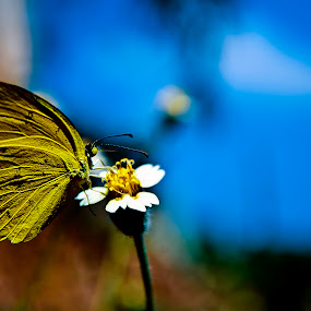 butterfly! by Pranjeet Sonowal - Animals Insects & Spiders ( butterfly, backyard, insect, close up, flower )