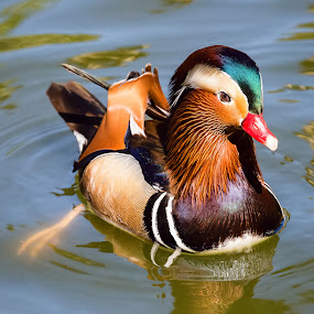 Mandarin Duck by Dave Lipchen - Animals Birds ( mandarin duck )