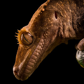 Crested Gecko by Dawn Cotterell - Animals Reptiles ( detail, macro, gecko, crested, animal )
