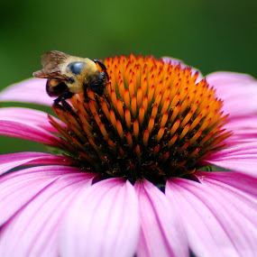 Bee on Coneflower by Peggy LaFlesh - Nature Up Close Flowers - 2011-2013