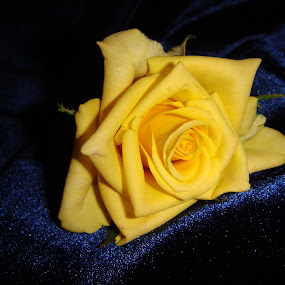 Yellow Rose by Ilse Gibson - Nature Up Close Flowers - 2011-2013 ( rose, dark blue velvet, world_is_yellow, yellow )
