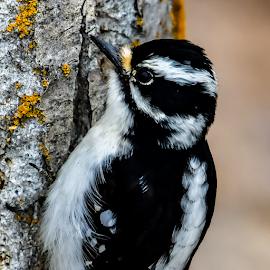 Downy Woodpecker by Keith Sutherland - Uncategorized All Uncategorized