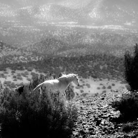 On a White Horse by Roch Hart - Animals Horses ( wild horse, mustang, new mexico jeep tours, desert, mustangs, nature, horse, roch hart, high desert, wild horses, white horse, nm )
