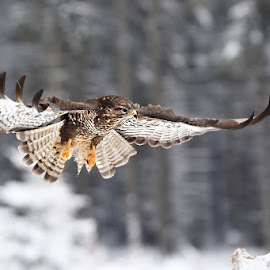 Arrival II. by Bencik Juraj - Animals Birds ( bird, flying, bird of prey, bird in flight, birding )