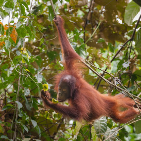 Young Orangutan Feeding by Steve Bulford - Animals Other Mammals ( swinging, orange, warm, ginger, green, feeding, cute, young, rainforest, sabah, borneo, hanging, steve bulford, fur, orangutan, eating, thoughtful, primate,  )