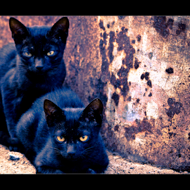 4 stares by Vincent Albert - Animals - Cats Kittens ( cat, fur, creativince, kittens, black, tamil nadu,  )