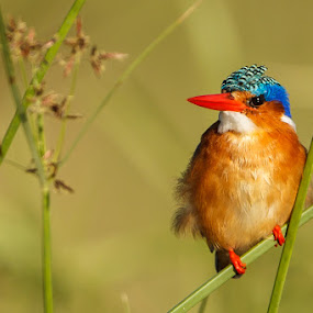 by Tobie Oosthuizen - Animals Birds ( malachite kingfisher, twig )