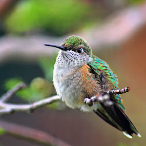 Hummingbird by Katie McKinney - Animals Birds ( bird, animals, nature, tree, naturebirds, hummingbird, green, wildlife, feathers,  )