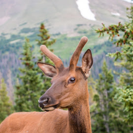 Young Elk by Kathy Suttles - Animals Other Mammals