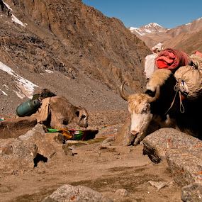 Yaks by Garrett Dyer - Animals Other Mammals ( mountain pass, yaks, tibet, yak )