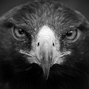 Golden Eagle 3a close bw.jpg
