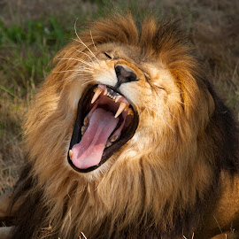 Lion Roar by Keith Reling - Animals Lions, Tigers & Big Cats ( teeth, roar, lion )