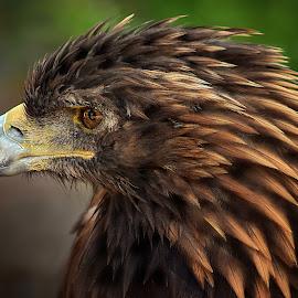 Golden by Shawn Thomas - Animals Birds
