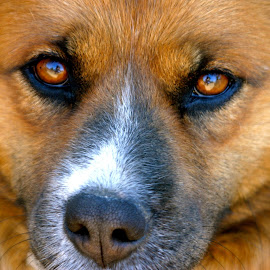 Ginger Lily by Kathleen Koehlmoos - Animals - Dogs Portraits ( arresting eyes, dogs, pretty dogs, dog eyes, the eyes have it, pretty eyes,  )