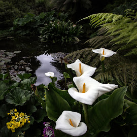 Arum Lily's by Martin Scaife - Flowers Flower Gardens ( arum lily, the lost gardens of heligan, pond )