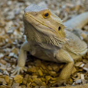 Lizard by Peter Spowage - Animals Reptiles