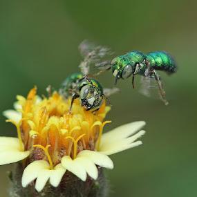 Sweat Bee by Bhavya Joshi - Animals Insects & Spiders ( macro, nature, wildlife )