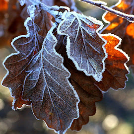 Lightly Dusted by Chrissie Barrow - Nature Up Close Leaves & Grasses ( nature, oak, frost, white, brown, sunlight, leaves, closeup )