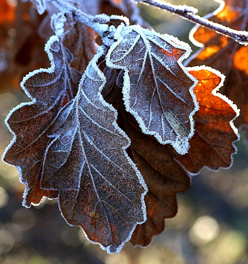 Lightly Dusted by Chrissie Barrow - Nature Up Close Leaves & Grasses ( nature, oak, frost, white, brown, sunlight, leaves, closeup,  )