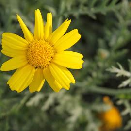 yellow flower by Cràzzy Giirl - Uncategorized All Uncategorized ( macro, yellow, flower )