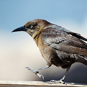 Grackle, at Gilbert Water Ranch. by Steve Forbes - Uncategorized All Uncategorized (  )