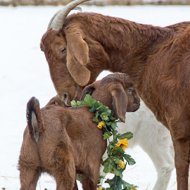 by Chandra Whitfield - Animals Other Mammals ( farm, goat, baby, animal, kid )