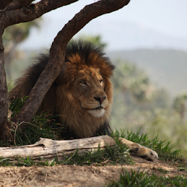 How I shoot a lion! by Marc Madou - Animals Lions, Tigers & Big Cats ( lion )