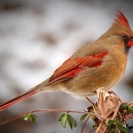 Female Northern Cardinal by Paul Mays - Animals Birds