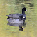 Coot  -  Common Coot