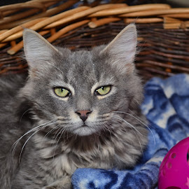 basket kitty by Michael Cowan - Animals - Cats Portraits