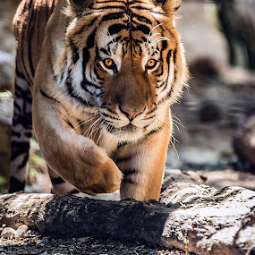 Dangerous by Alessio Coluccio - Animals Lions, Tigers & Big Cats ( tiger, dangerous, eyes, animal,  )
