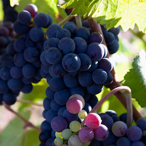 Wine grapes by Kelvin Watkins - Nature Up Close Gardens & Produce ( wine, purple, grapes, ripe, leaves, bunxh )