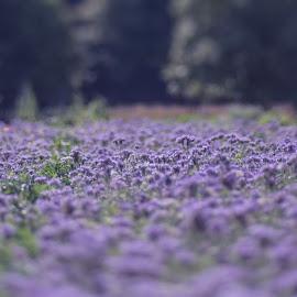 violett fields by Karin Wollina - Landscapes Prairies, Meadows & Fields ( field, nature, violett, summer, landscape, flowers,  )