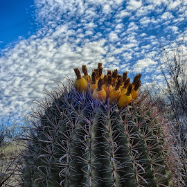 Barrel Cactus by Charlie Alolkoy - Nature Up Close Other plants ( plant, desert, arizona, tucson, barrel, cactus )