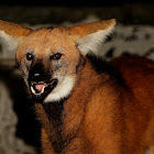 Lobo guará (maned wolf)