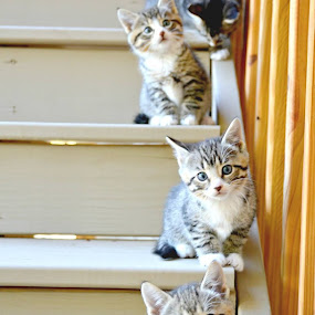 i tried copying a pic i saw somewhere with kittens lined up along the stairs.. this is the closest i could get..:) by Pamela Chandra - Animals - Cats Kittens