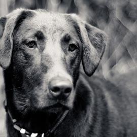 Daphne 16 mos -1 by David Leer - Animals - Dogs Portraits ( oregon, daphne, 2015, coast range, cute, lab, close up, portrait, chocolate, mountains, winter, county, female, pet, outdoor, dog, animal )