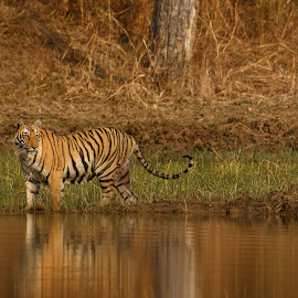 Tiger by Saumitra Shukla - Animals Lions, Tigers & Big Cats ( indian wildlife, wild, nat geo, nature, tiger, color, wallpaper, wildlife, beauty, mammal, bbc, animal )