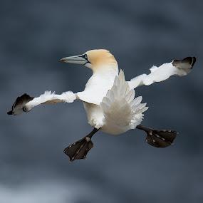 Gannet by Charlie Davidson - Animals Birds ( gannet, birds )
