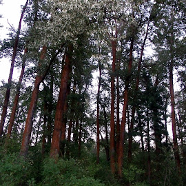 TALL TREES by Cynthia Dodd - Novices Only Flowers & Plants ( nature, high, leaves, tree tops, tall )