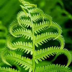 2015_05_31 [2004] - Leaves on a Fern Plant.jpg