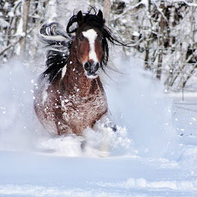 Curly  by Minna Mäkinen - Animals Horses