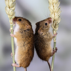 Mouse duo by Garry Chisholm - Animals Other Mammals ( mice, garry chisholm, nature, harvest mouse, wildlife, rodent,  )