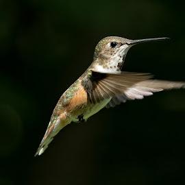 Hummingbird by Sheldon Bilsker - Animals Birds ( bird, hummingbird )