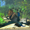 INDIAN PEAFOWL FIGHT