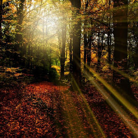 A Woodland Sunrise by Mandy Hedley - Landscapes Forests ( sunrays, trees, forest, woodland, sunrise )